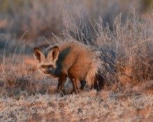 J+L-Ballard_African-Animals_Bat-earred-fox