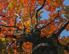 Black Bear Mountain Maple Tree