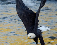 Bald eagle, flying with clam