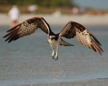 Osprey by beach