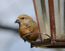 Red crossbill, female, on feeder