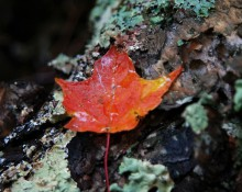Wet maple leaf on lichen log